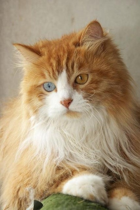 Life expectancy in Turkish Angora Cats