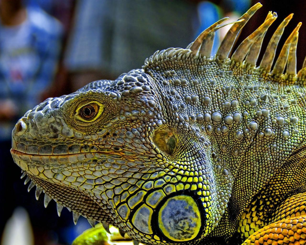 http://2.bp.blogspot.com/-0JvD0qLVi9o/T-bpnV2ujtI/AAAAAAAACvY/1Wp68cTEc_s/s1600/iguana.jpeg
