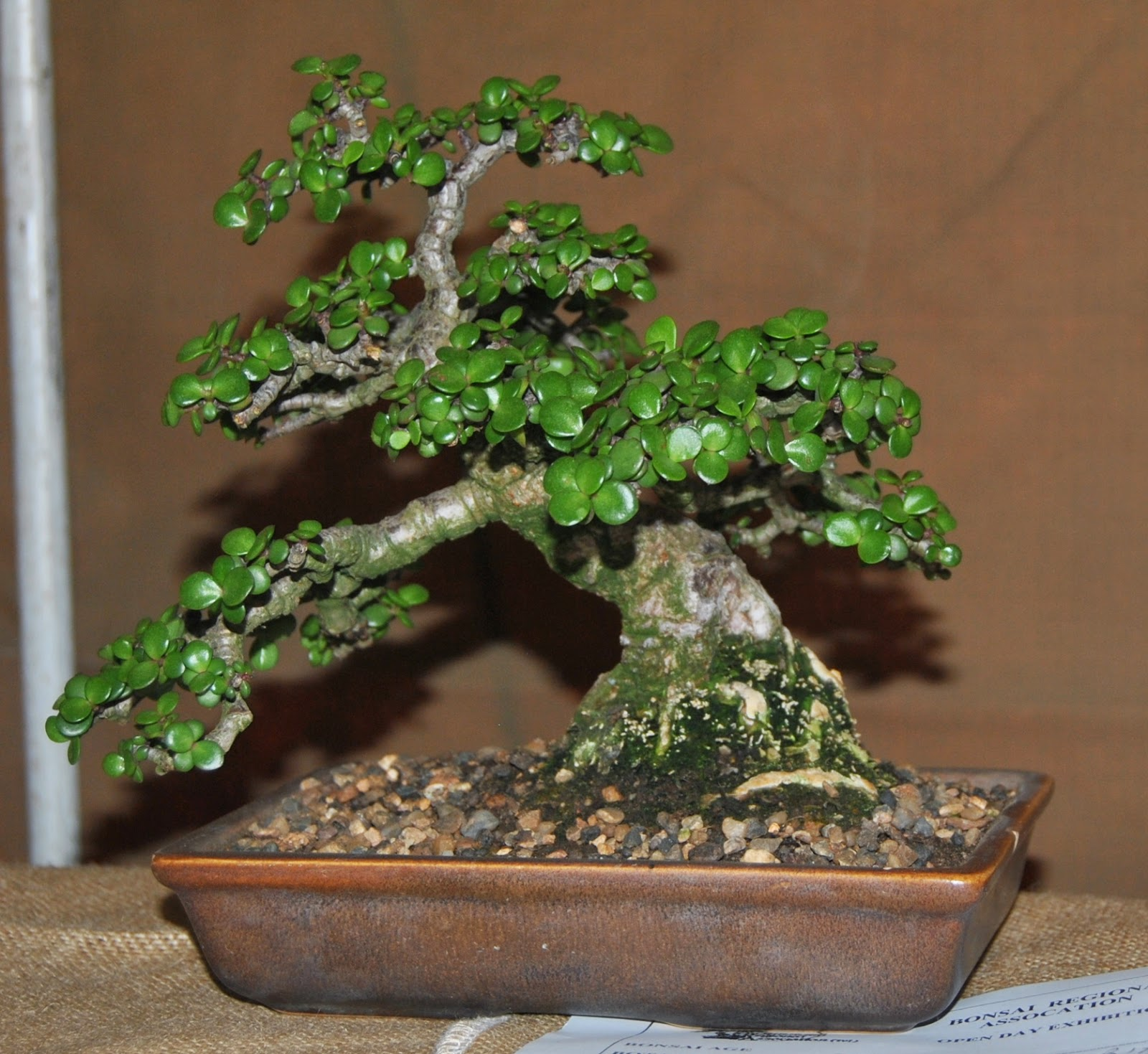 Brat Open Day At Far West Bonsai Kai On 31 May 2014 LENNARD39S