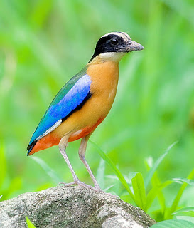 paok sayap biru