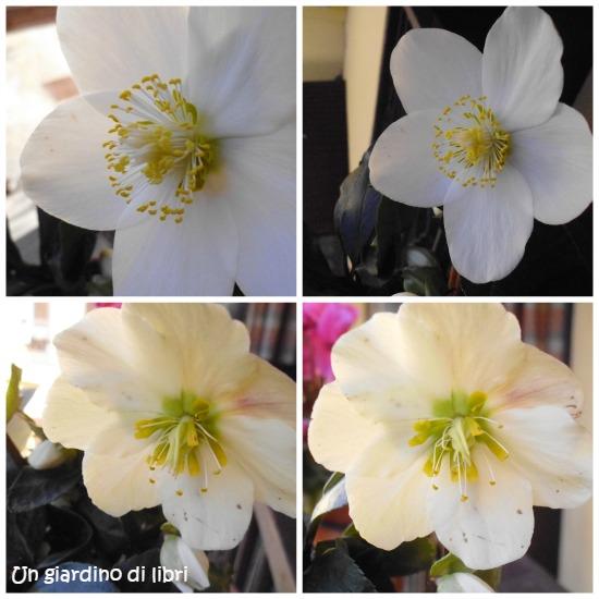 Ungiardinodilibri fiore di elleboro