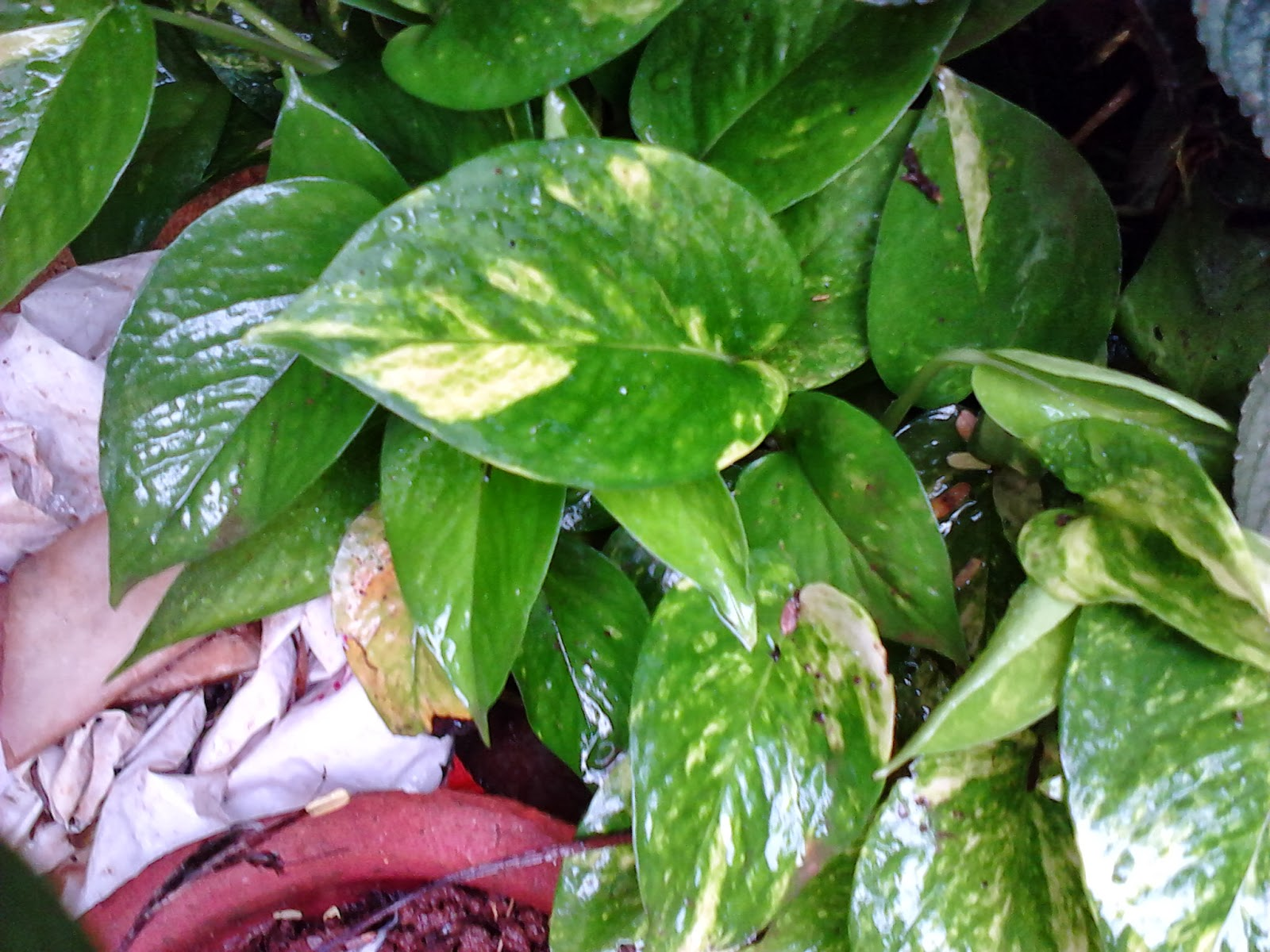 Garden care simplified why money plant rules as feng shui - Good luck plants feng shui ...