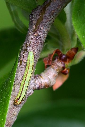 Trachycera advenella