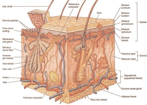 Mikroskop altında cilt: yapının özellikleri