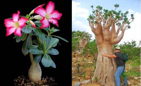 Budidaya dan Cara Merawat Bunga Kamboja Jepang