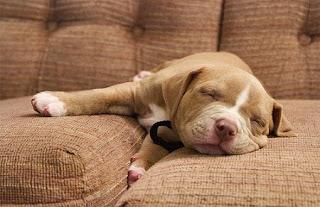 cucciolo sul divano immagine