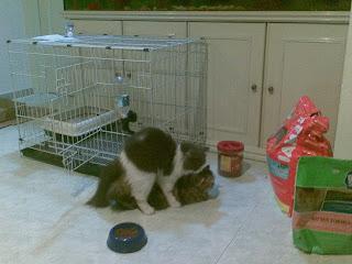 kucing mengawan