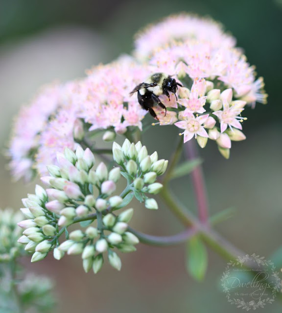 Bumble Bees in the Autumn Joy Sedum