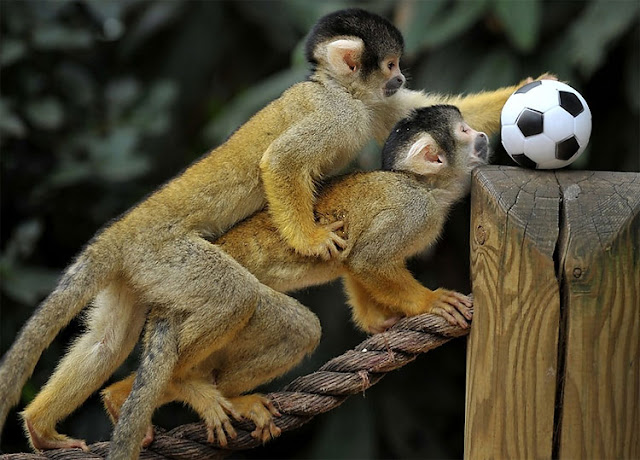 The Bolivian squirrel monkeys playing soccer at London Zoo, cute monkeys, bolivian squirrel monkey