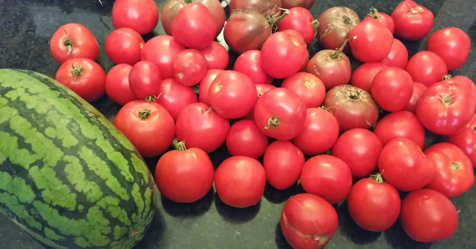 Bobcat tomato: a tall tomato variety