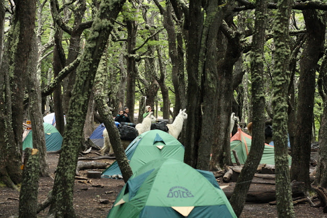 campamento poincenot llamas argentina camping