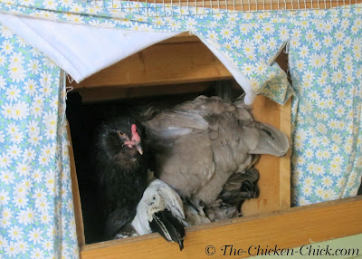 I knew that to avoid these problems I needed to add more temporary nest boxes than the one I already had on the floor of the coop.