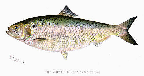 how to cook shad fish