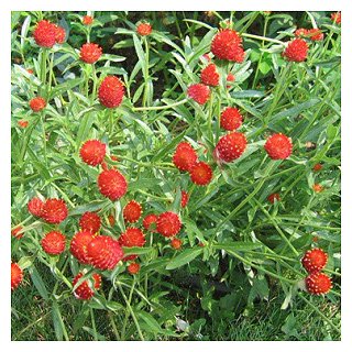http://www.cantinhodasaromaticas.pt/loja/plantas-em-vaso-bio/perpetua-vermelha-gomphrena-haageana/