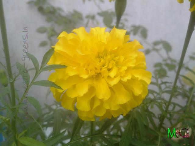 Metro Greens: Marigold Flower