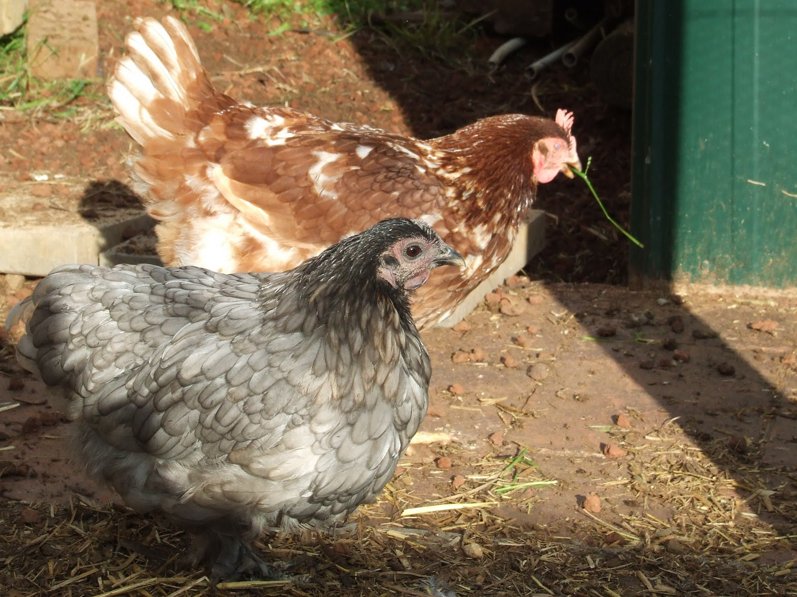 backyard chickens return on investment