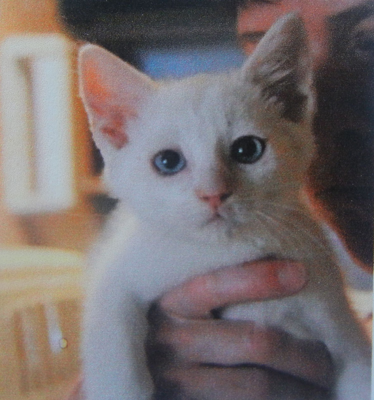 Flame Point Kitten Flame point siamese kitten
