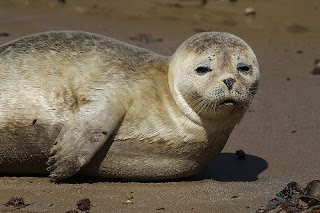 Funny Common Seal