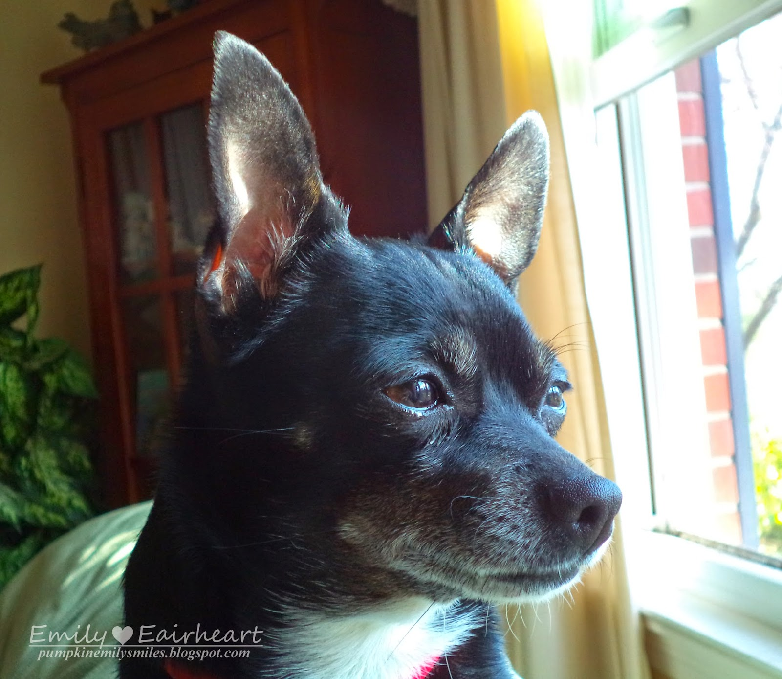 Another picture of Minnie, Chihuahua, sitting on top of couch watching for enemies at a different angle.