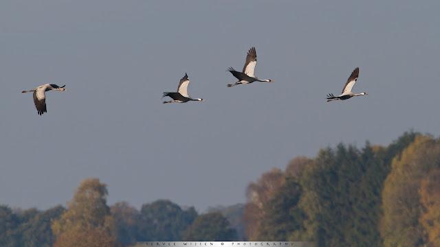 European cranes in flight