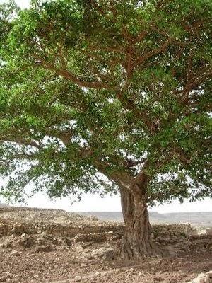 pohon ara tempat tinggal hantu