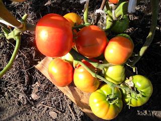 кисть безрассадных помидоров