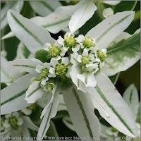 Euphorbia marginata flowers  - Wilczomlecz białobrzegi  kwiaty