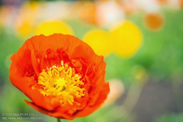 八重咲きのアイランドポピー オレンジ