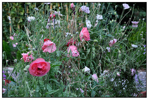 Allowing Shirley Poppies to seed and self sow.
