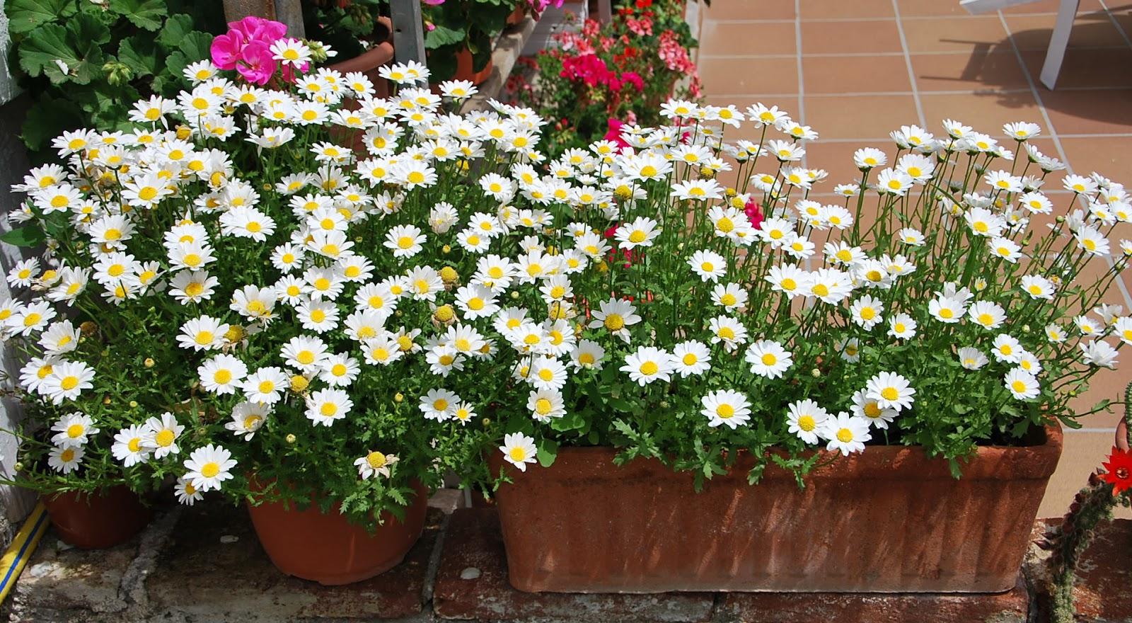 Fotos de flores margaritas de varios colores - Plantas de jardin fotos ...