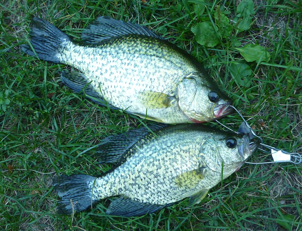 Manitoba fish species on the fly a couple of crappies for Pictures of crappie fish