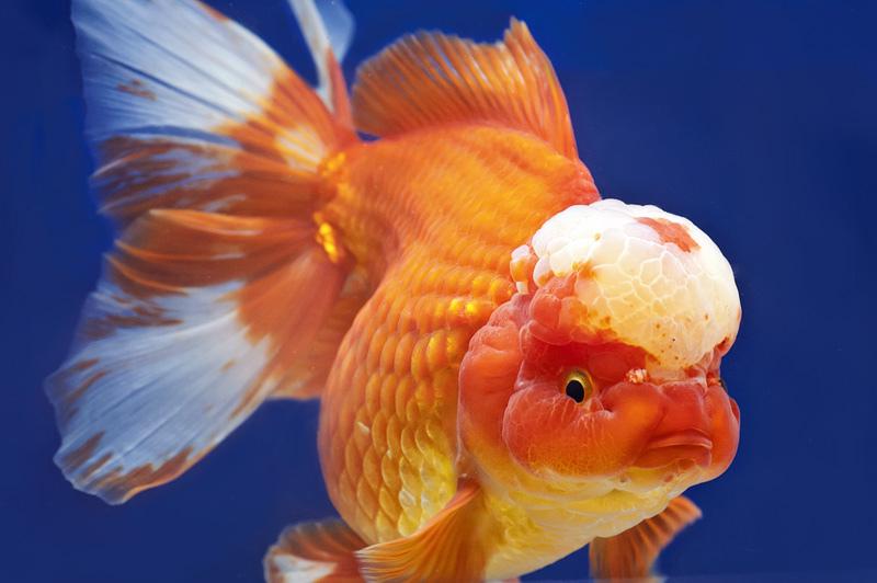 Ikan Hias Mas Koki