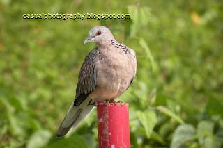 Pigeon - Bird's Eye View - Masinagudi