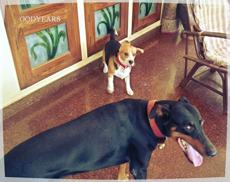 dog Godyears beagle Snoopy