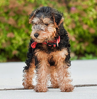 Lakeland Terrier Puppy Picture
