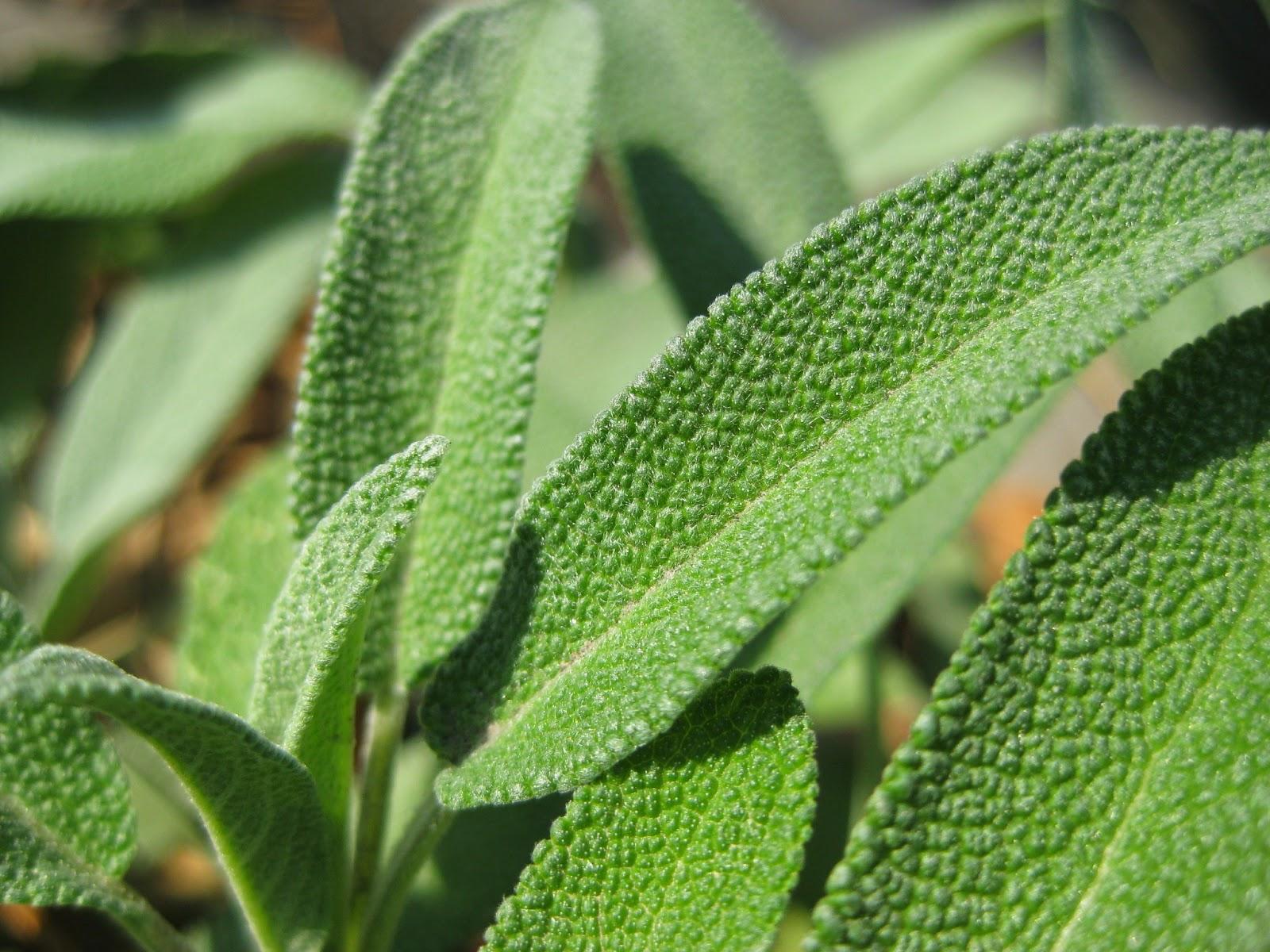 sage leaf terdapat dalam herbal blend