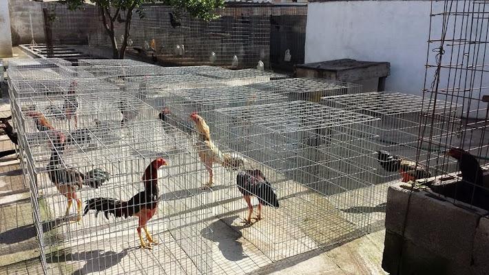 Asoleando los Animales para la Copa Oro de 30 mil