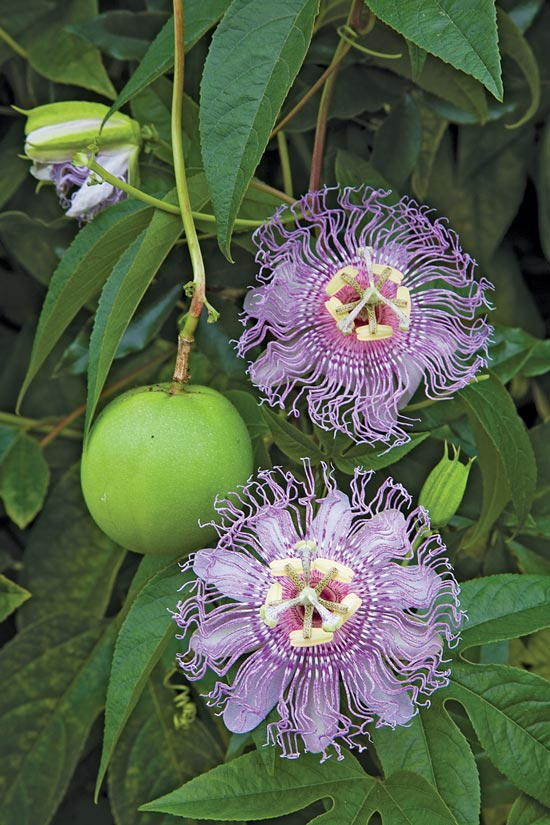 Temperate Climate Permaculture Permaculture Plants Maypop