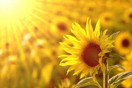 Hình hoa hướng dương đẹp nhất