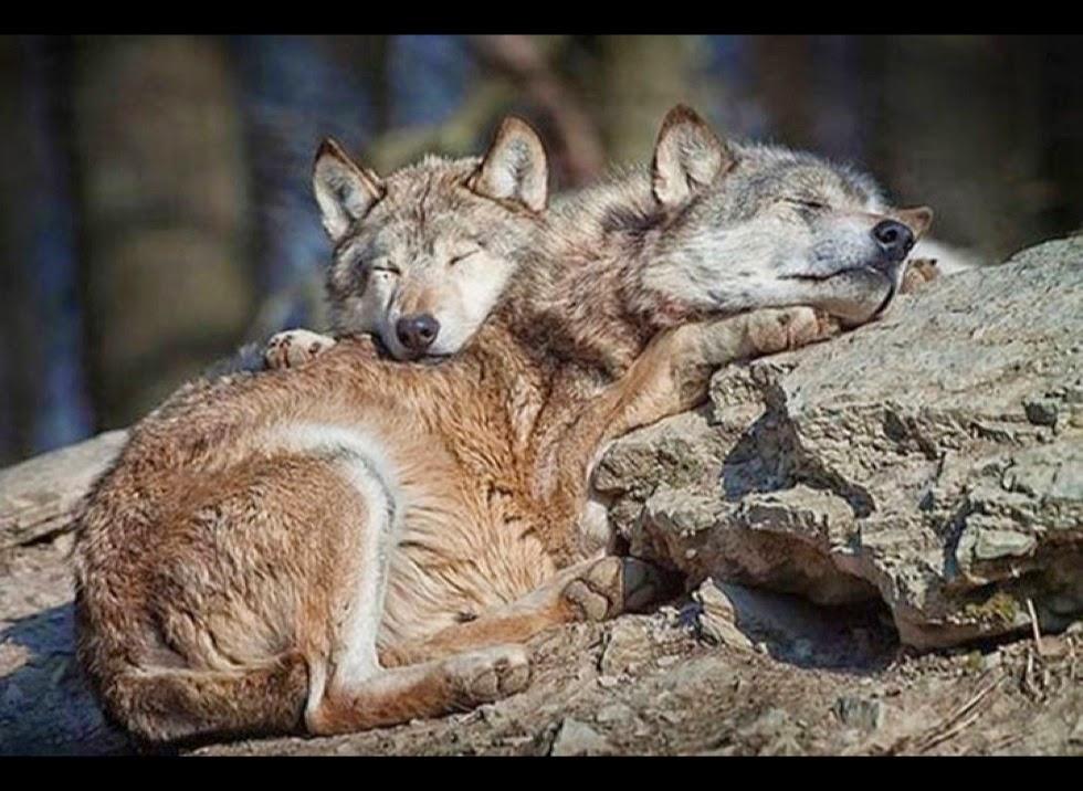 White Wolf : 17 Photos...