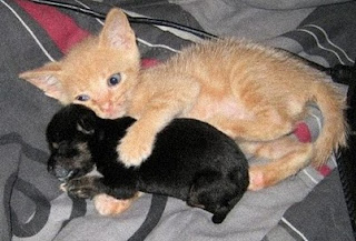 kucing anjing kecil