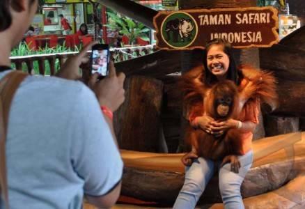 Penggiat Konservasi Serukan Stop Pertunjukan Orangutan di Taman Safari