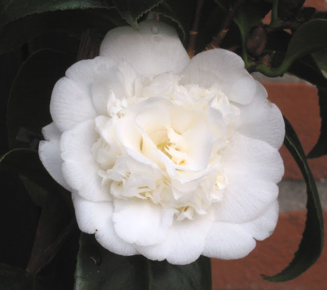 Camellia the rose of winter flower