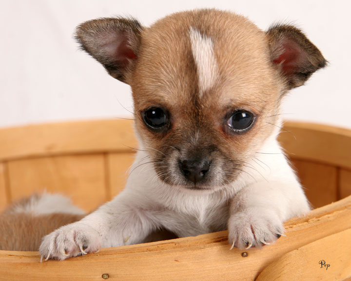 Animals Zoo Park: Top 10 Small Dog Breeds in America With Photos ...
