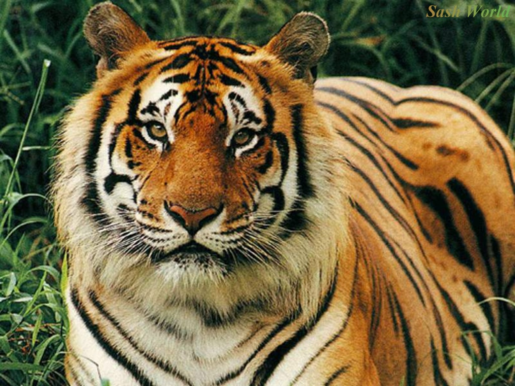 free 3d wallpapers download: tiger wallpaper, tiger wallpapers