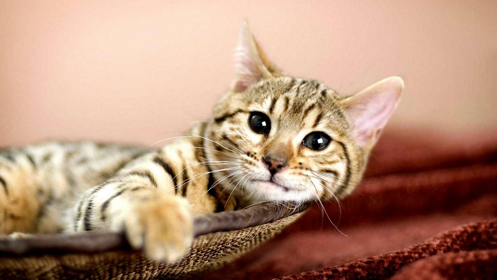 http://2.bp.blogspot.com/-0SGP6zBd0gI/Tw-KJDPI56I/AAAAAAAAuKA/0lf4nuj-6qA/s1600/gatito-descansando-lazy-cat-gato-flojo-kitten.jpg