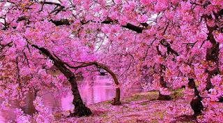 pemandangan alam bunga sakura jepang
