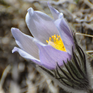Prairie Crocus. Photograph © Shelley Banks, all rights reserved.