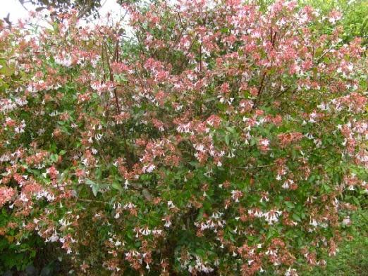 Ma Planète Jardin: Abelia grandiflora, un arbuste à fleurs aux ...