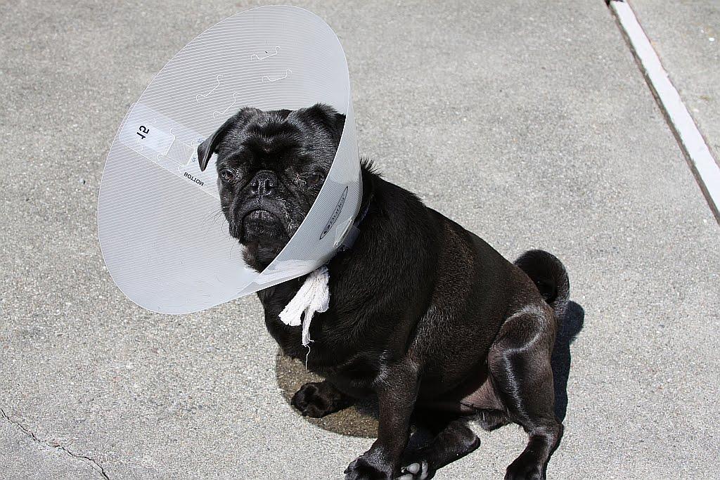 Bellatrix, I'm a Pug!: March 2011